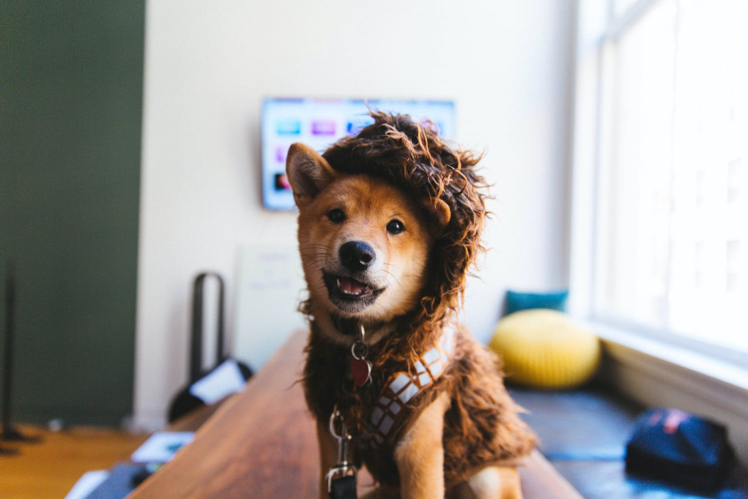 Dog in a wookiee costume